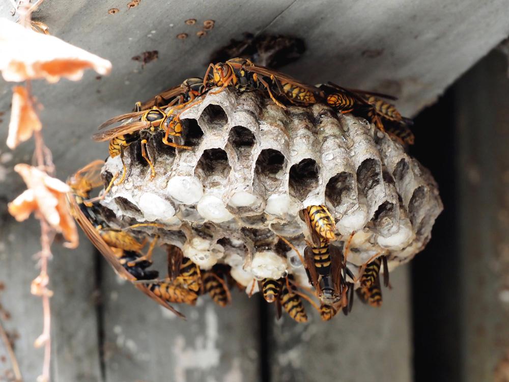 ハチ駆除画像