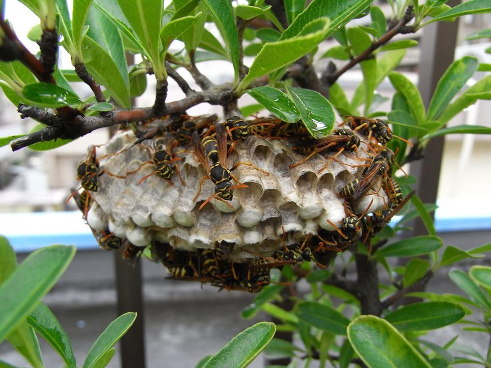 アシナガバチを自分だけで安全に駆除する方法
